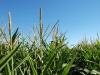 maize01