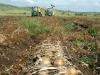 onion harvest13