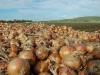 onion harvest22