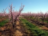 peach-blossom13