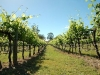 shiraz-vines02