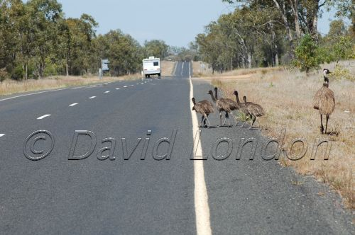 emu chicks3