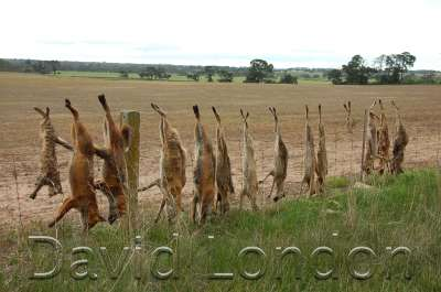 foxes-on-fence05