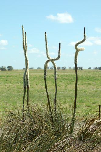 grass-treesa29