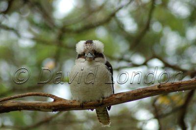 kookaburra_24