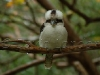 kookaburra_27