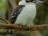 kookaburra_32