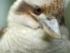 kookaburra_54