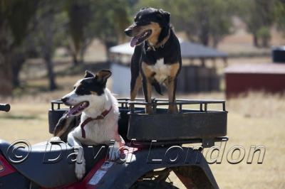 working-dogs_106x
