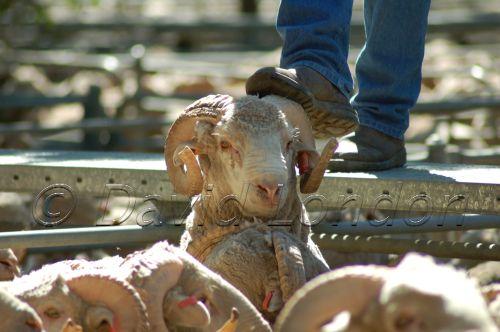 Deni-sheepsale73