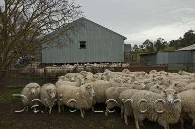 ewes-yarding_13