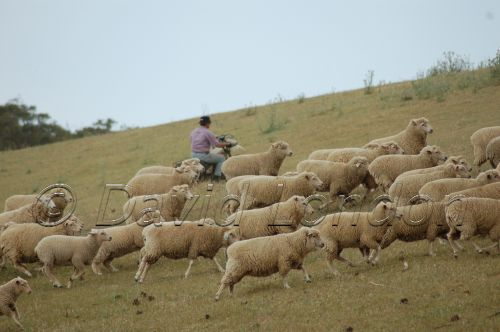 sheep-muster19
