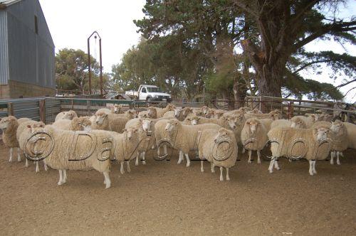 sheep-muster25