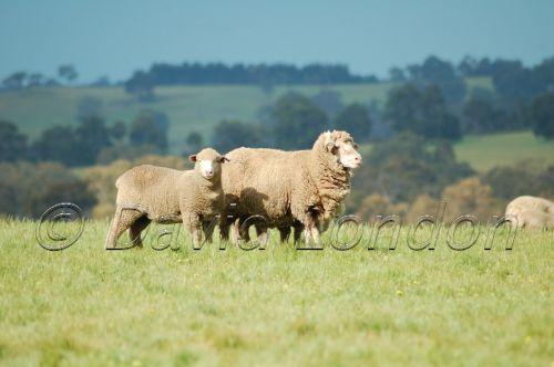 sheep-WA64