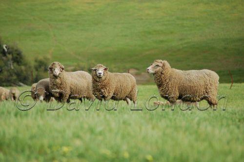 sheep-WA70