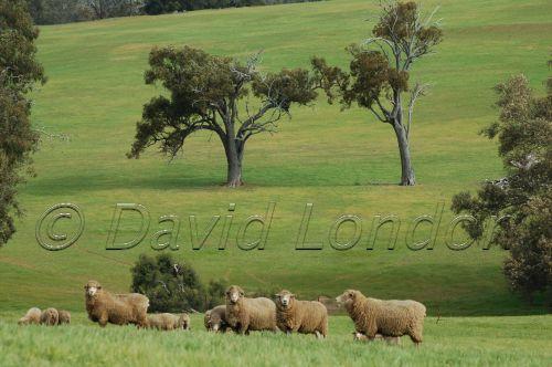 sheep-WA71