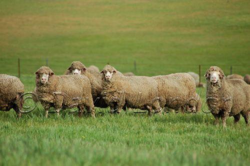 sheep-WA72