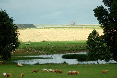 sheep crops11