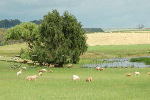 sheep crops13