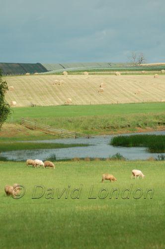 sheep crops14
