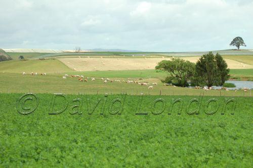 sheep crops23