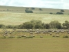 Badgy sheep60