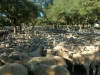 Deni-sheep sale02