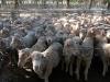 Deni-sheep sale14