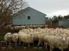 ewes-euroa_13
