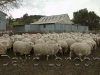 ewes-yarding_12