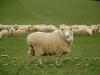ewes-yarding_38