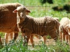 lamb-thru-wire02