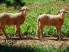 lamb-thru-wire03