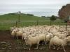 lambs-euroa_10