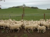 lambs-yarding_06