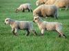 lambs Tas01