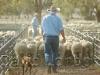 sheep-sale_347