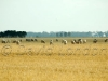 sheep-Tas10