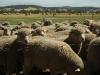 sheep bales09