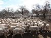 sheepsale-winter_376