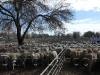 sheepsale-winter_397