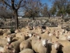 sheepsale-winter_398