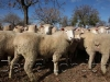 sheepsale-winter_399
