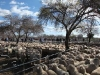 sheepsale-winter_409
