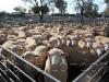 sheepsale-winter_485