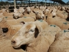 sheep sale34