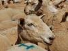 sheep sale35