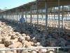 sheep sale37