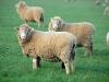 sheep Tas02