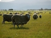 sheep Tas15
